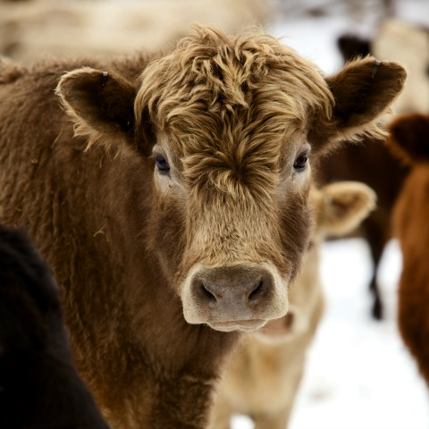 Cattle Mineral Tips for Winter