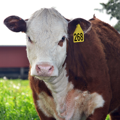 Cattle Mineral Tips For Summer Purina Animal Nutrition