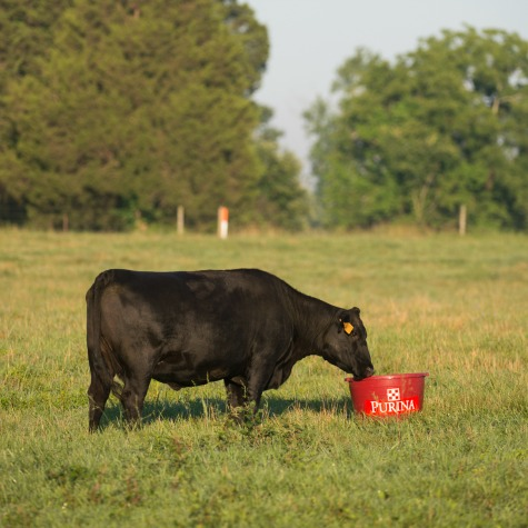 image of a cow eating from a mineral tub in a field