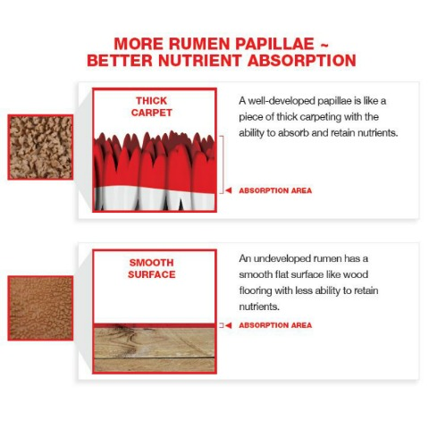 More rumen papillae means better nutrient absorption. Well-developed papillae are like thick carpet while underdeveloped papillae are like a smooth surface.
