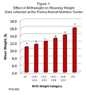 Table of data showing effect of pig birthweight on weaning weight