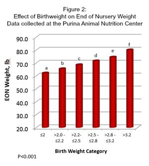 Table of data showing pig birthweight on end of nursery weight