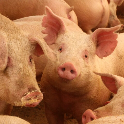 Are you ready to raise pigs at home for meat?