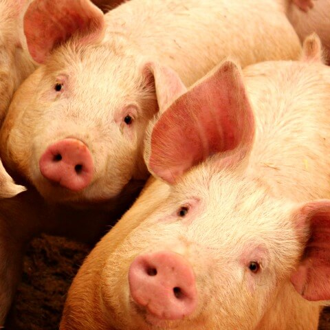 Things to consider before bringing pigs home to raise as pork for your family
