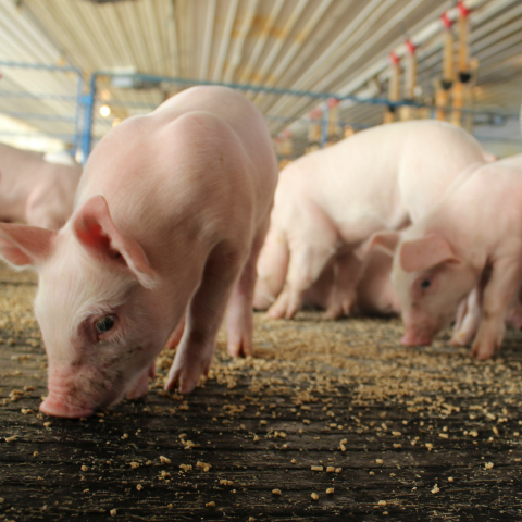 Factors Affecting Pig Feed Conversion | Purina Animal Nutrition
