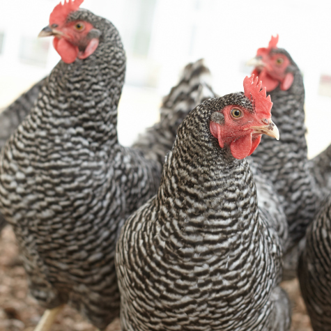 image of 18 week old hens