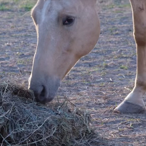 Carbohydrates in Horse Feed - Myths and Recommendations Preview Image