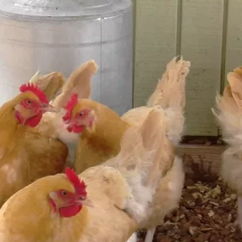 Backyard Chicken Feed Basics Preview Image